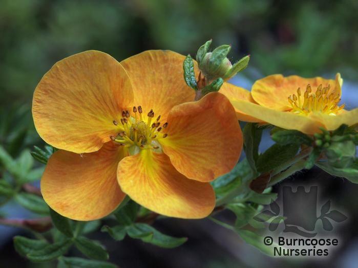 Orange Sunset Potentilla Potentilla Fruticosa 'sunset'