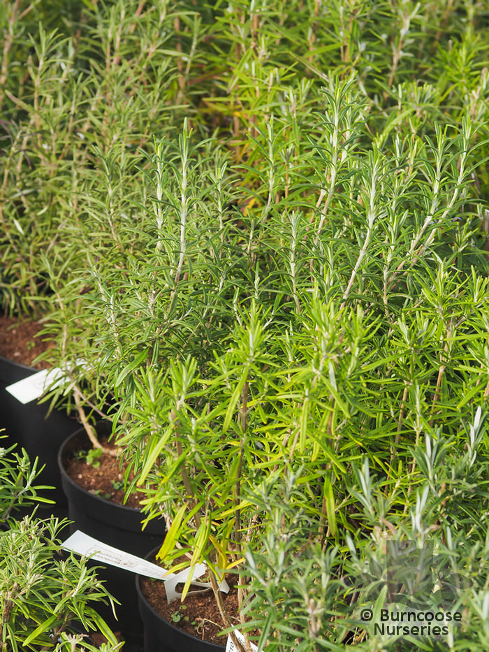 Buy Rosmarinus Officinalis 'Gorizia' plants from Burncoose Nurseries
