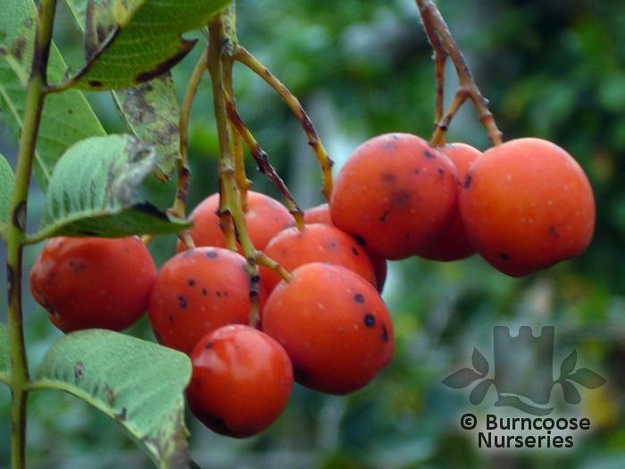 buy sorbus aucuparia 39 edulis 39 plants from burncoose nurseries. Black Bedroom Furniture Sets. Home Design Ideas